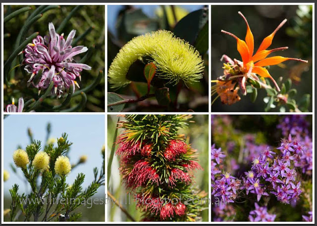 And a few more wildflowers from The Fitzgerald River National Park.  Clockwise from top left.... Coneflower, Eucalyptus (perhaps the Bell Fruited Mallee -  Eucalyptus pressiana ), chittick -  Lambertia inermis , starflowers, the Dense Clawflower -  Calothamnus pinifolius , and one of the  melaleucas.