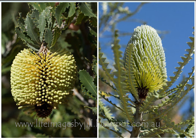 And two more banksias - the hanging down Lehmanns Banksia -  Banksia lehmanniana , and the Showy Banksia -  Banksia speciosa . A couple more to add to my collection on my blog -   Celebration of the Australian Banksia