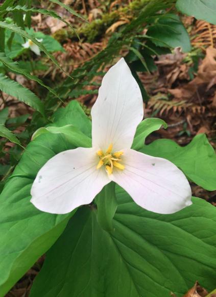 Western Trillium ( Trillium ovatum )