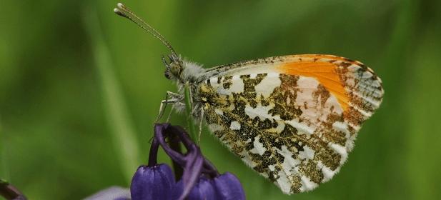 615px-Orange-tip-on-Bluebell-Scotland-Barbara-Mearns-1.png