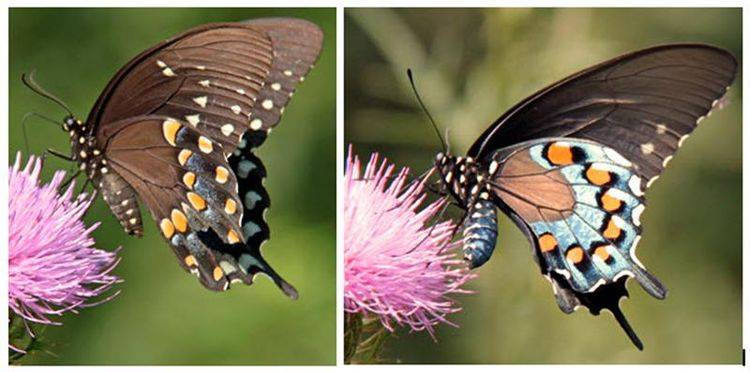 Left: Spicebush Swallowtail Right: Pipevine Swallowtail