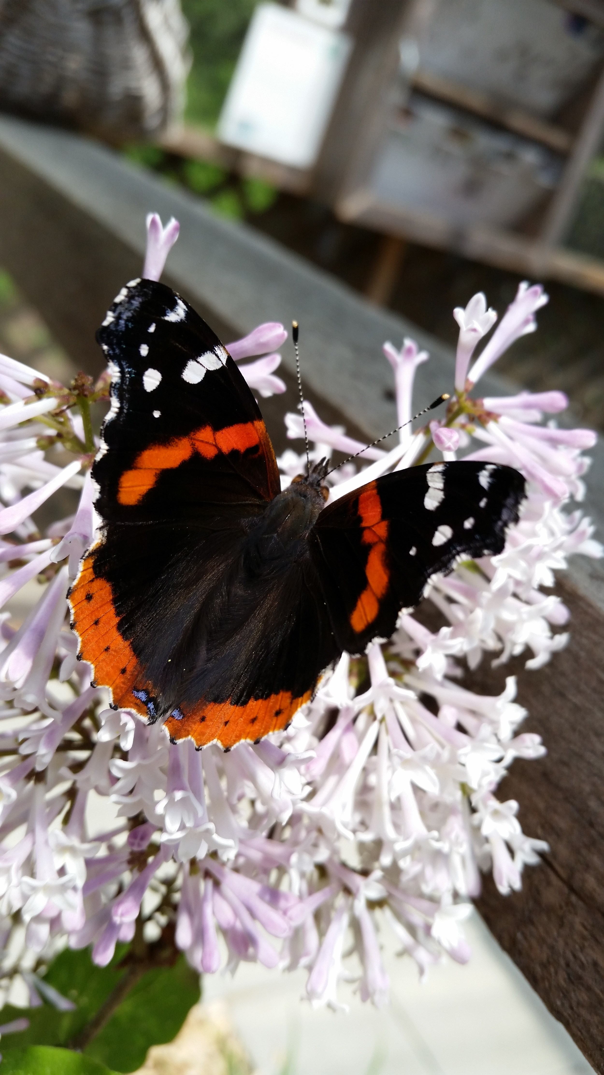 Adult Red Admiral