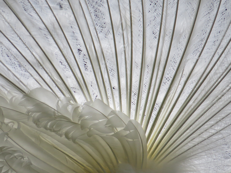 Peacock white 1500 4-22-2016.jpg