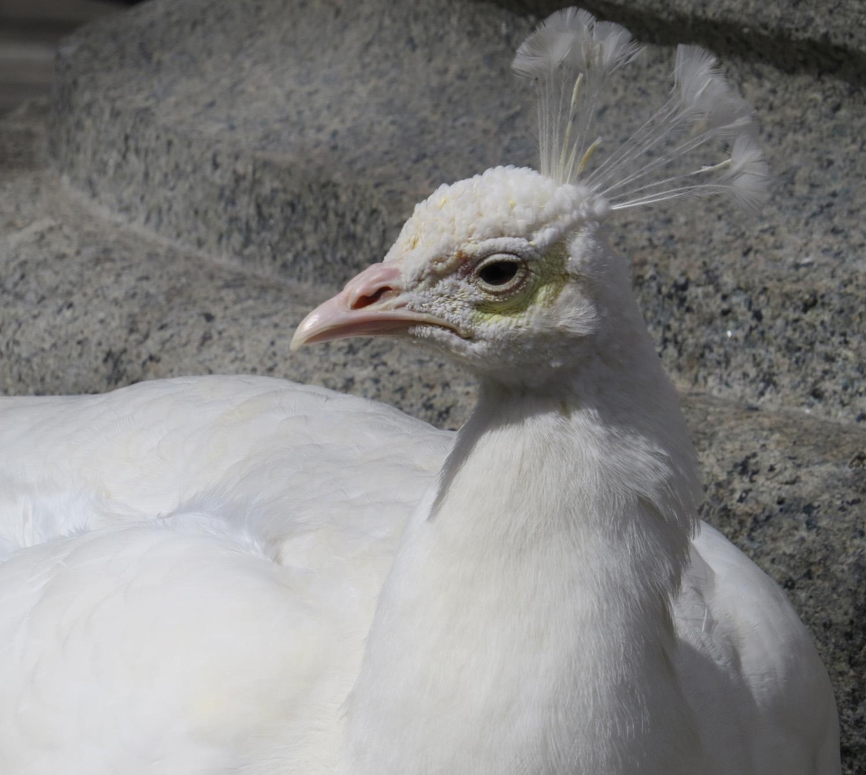 Peacock 1500 3-11-2016 019A.jpg