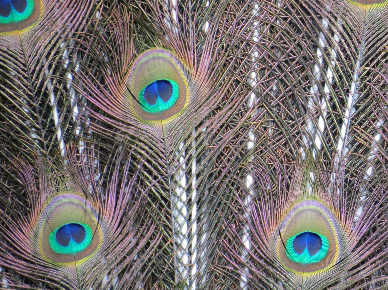Peacock banner 1500 3-11-2016 074.jpg