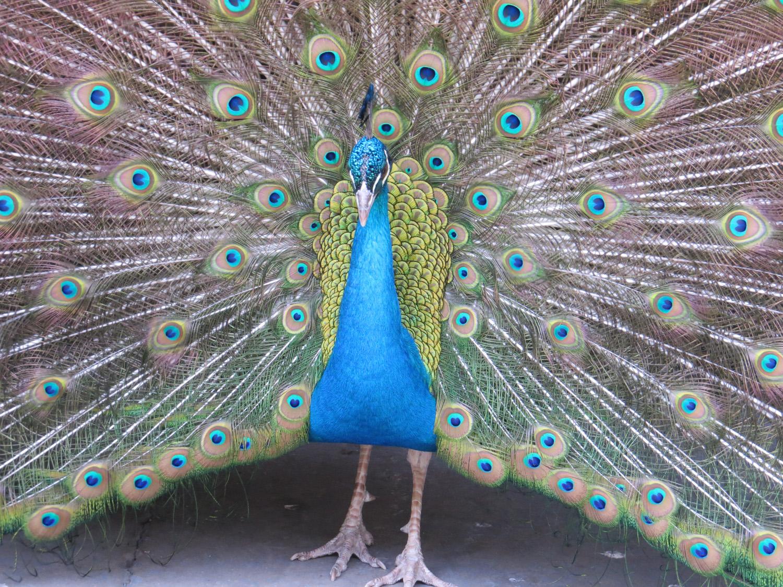 Peacock 1500 3-11-2016 031.jpg