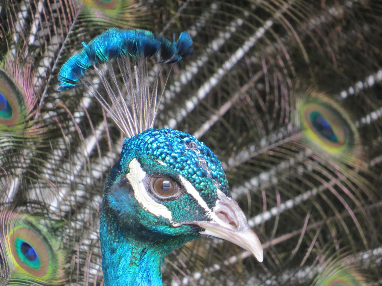 Peacock 1500 3-11-2016 052.jpg