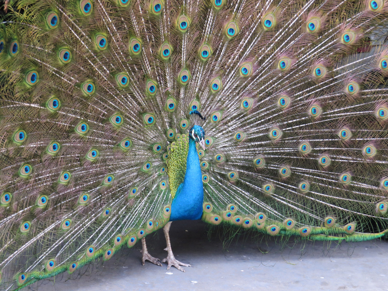 Peacock 3 1500 3-11-2016 036.jpg