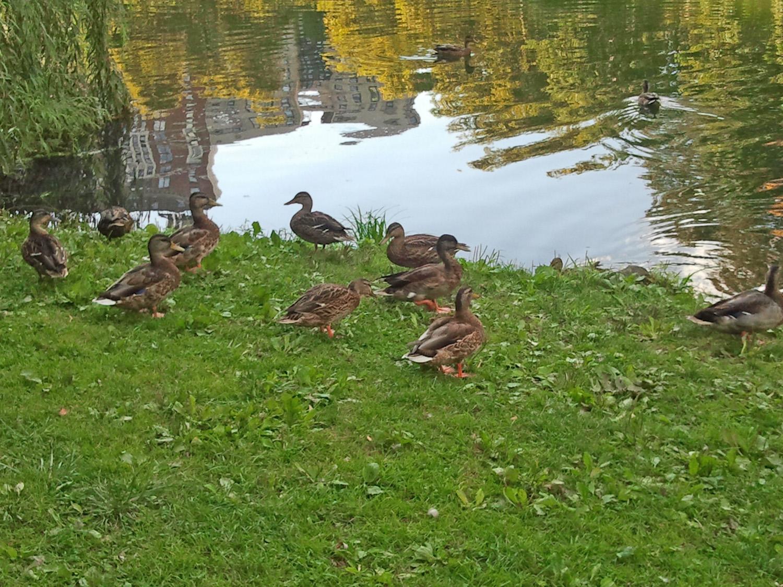 Res Ducks 1500 5 2012-08-29.jpg
