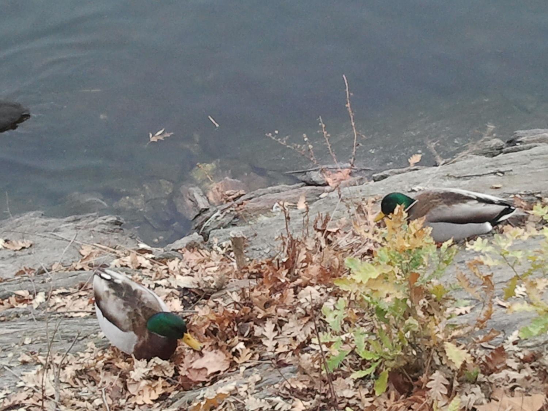 Res Ducks 1500 9 2012-12-31.jpg