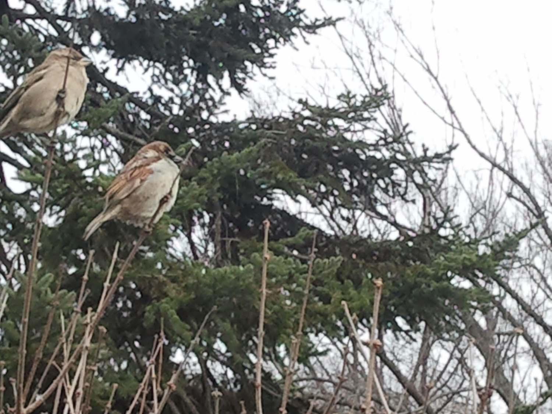 CP Camera sparrows 2-17-2013 2013-02-16 13.30_edited-1.jpg