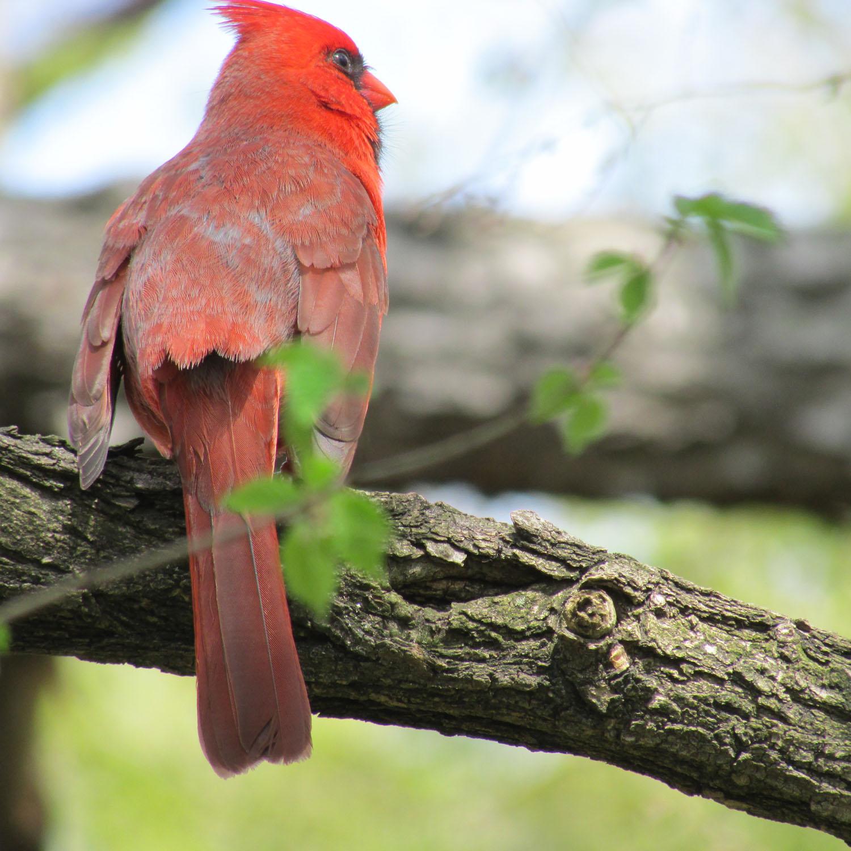 Cardinal 1500 2013 011.jpg