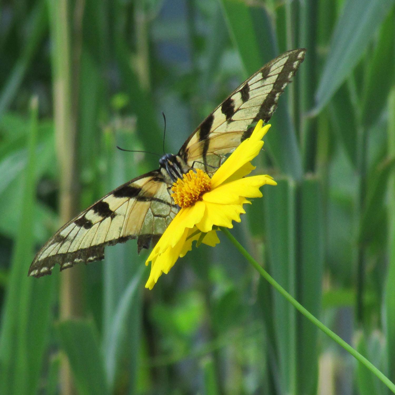 Monarch butterfly 1500 7--4-2013 404.jpg