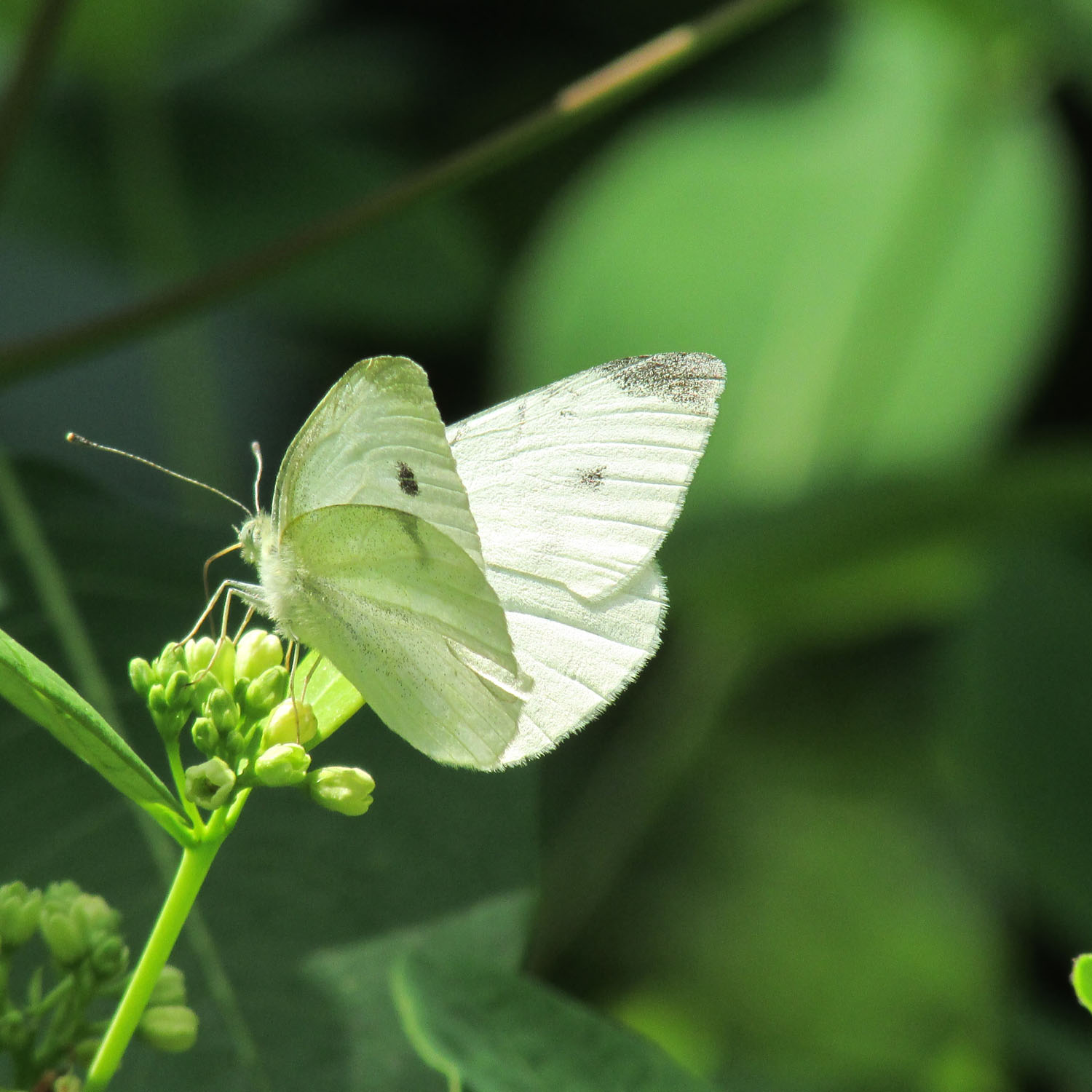 cabbage butterfly on green 1500 186.jpg