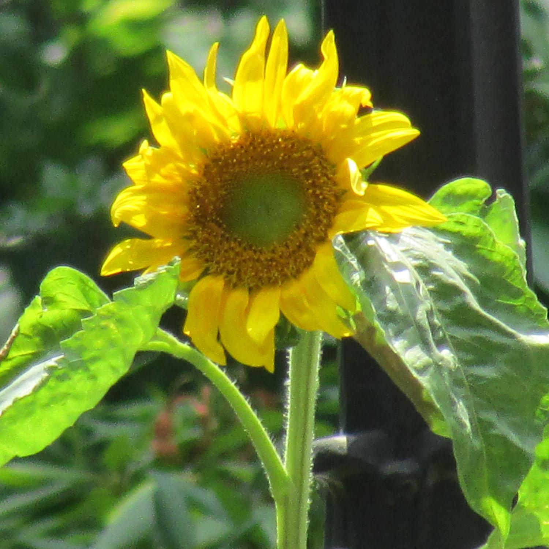 Sunflower 1500 6-29-2013 049.jpg