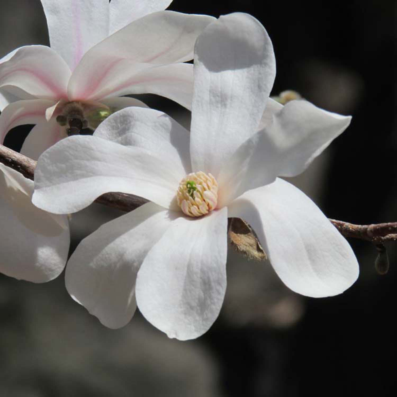 Magnolia 1500 4-2013 154.jpg