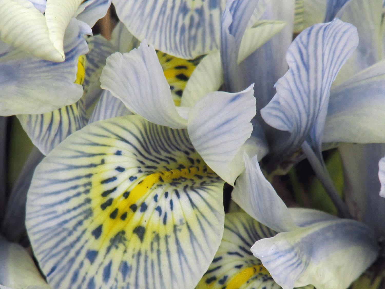 miniature iris 1500 4-6-2014.jpg