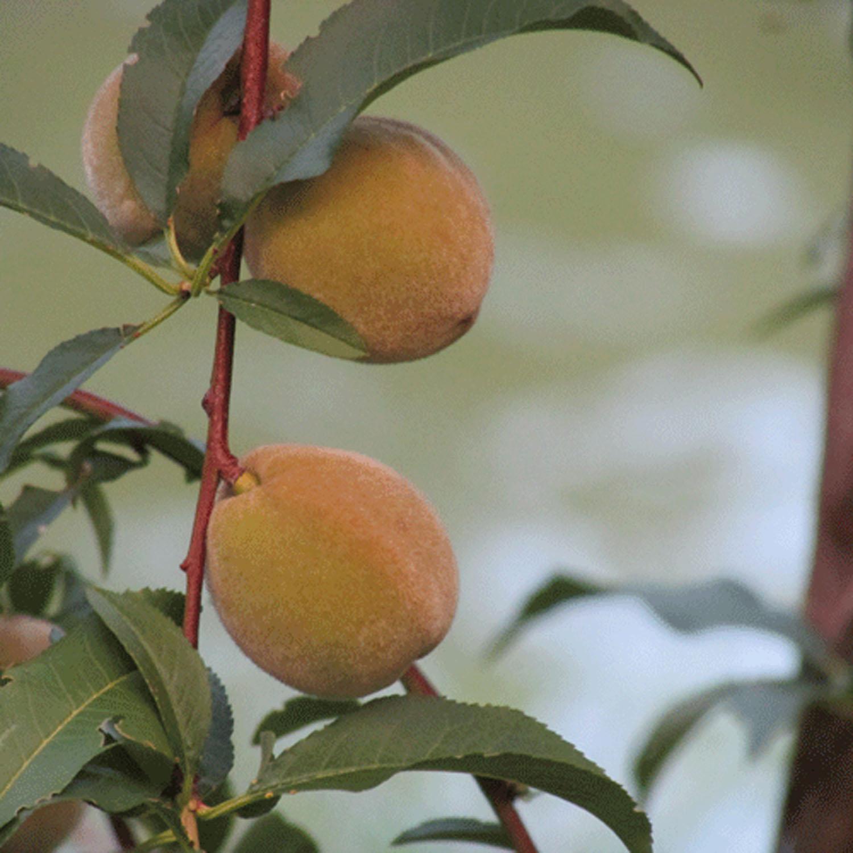 peaches 1500 7-27-2013.jpg