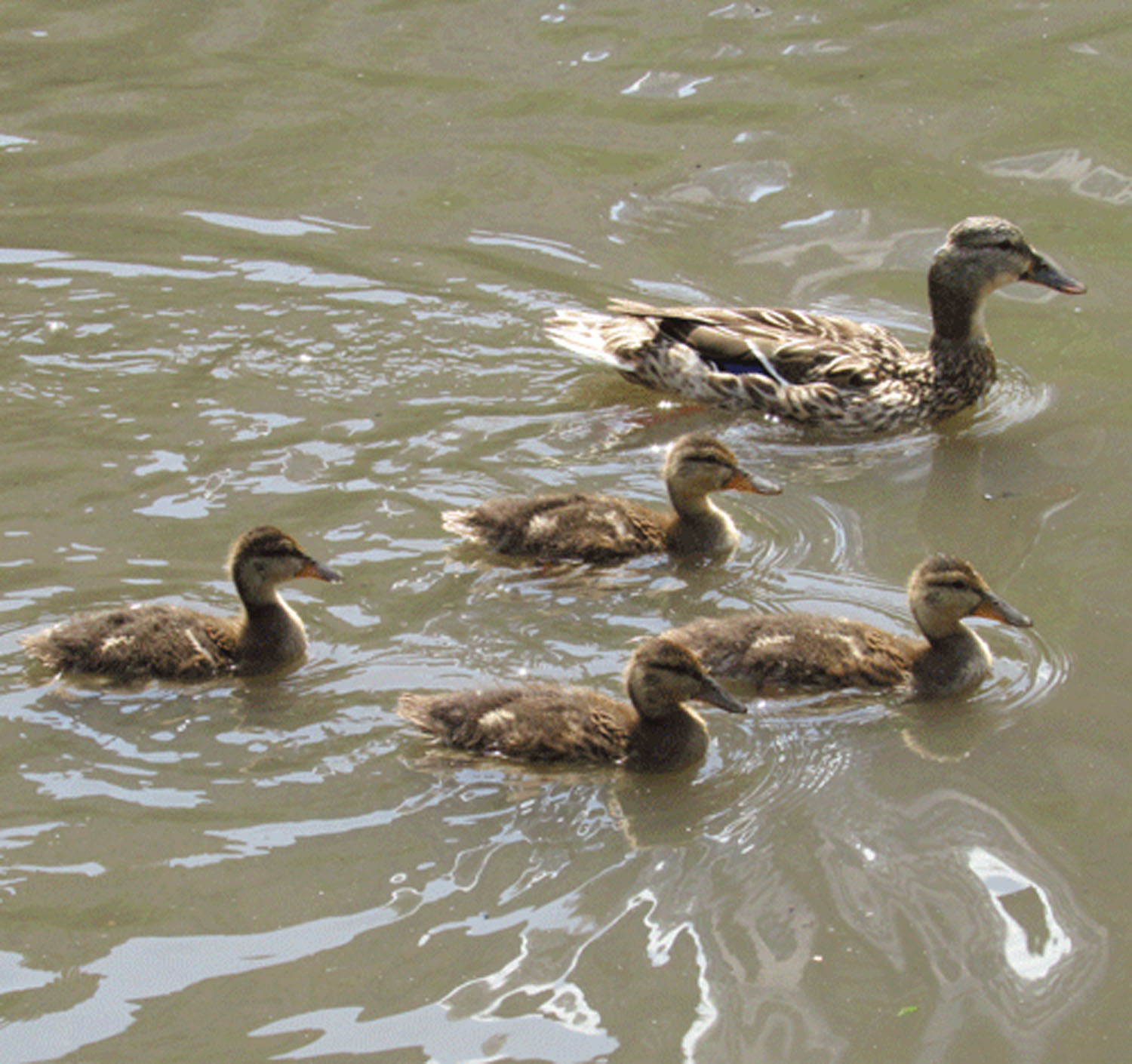 Ducklings4 1500.jpg