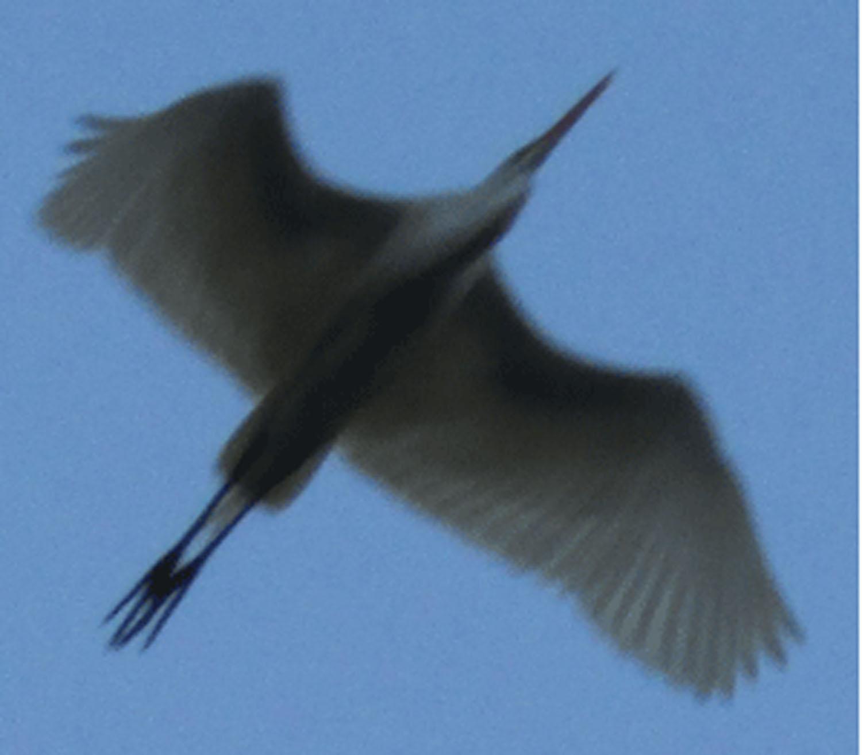 Egret flight 1500.jpg
