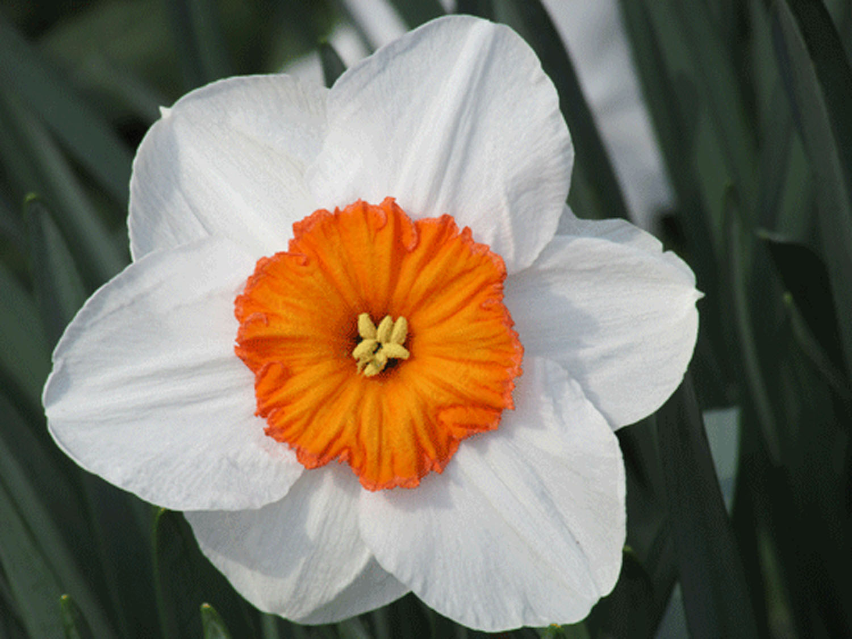 Daffodil 1500.jpg