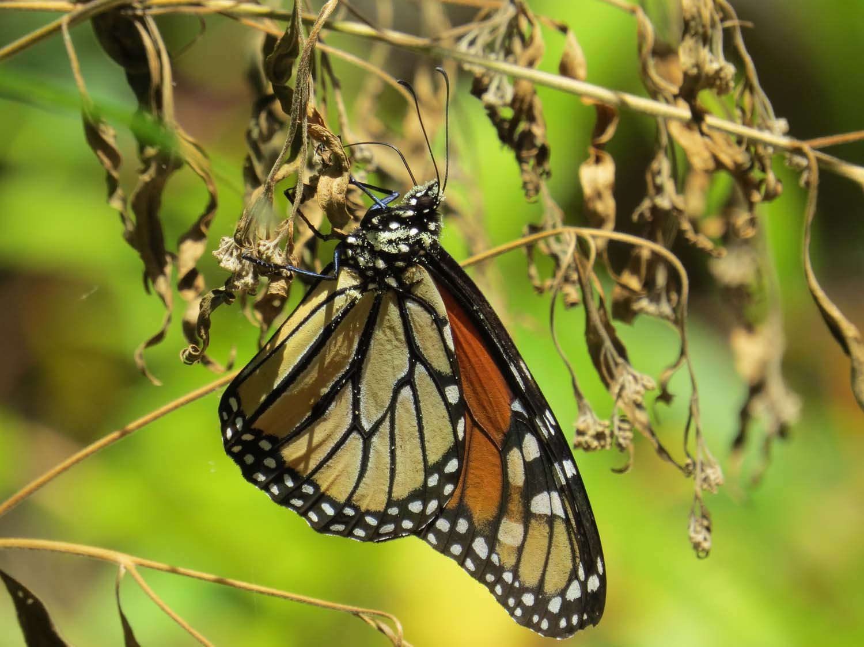 Butterfly 1500 8-27-2015 053.jpg
