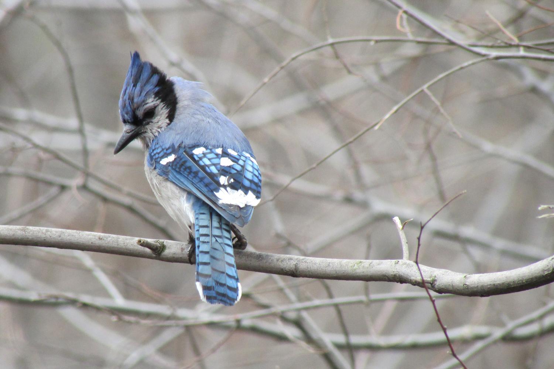 Blue Jay 1500 3-25-2013 323.jpg
