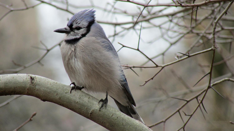 Blue Jay 1500 3-6-2013 040.jpg