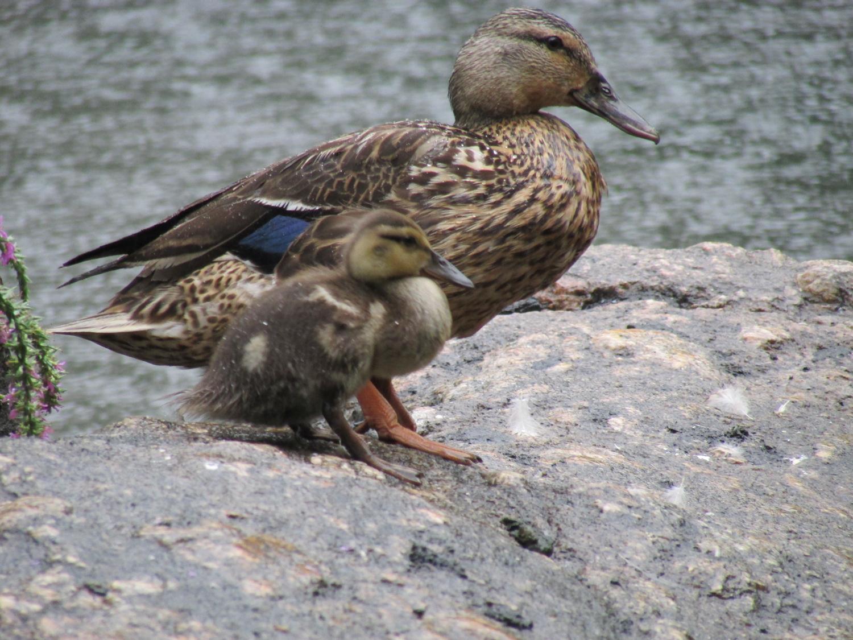 1500 8-1-2013 ducklings 038.jpg