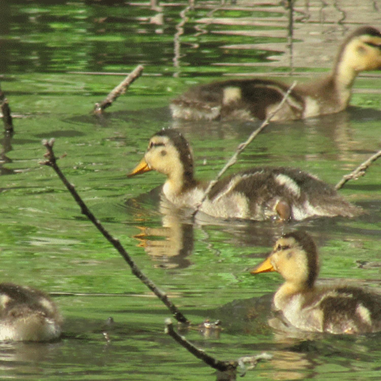 Ducklings 3 500.jpg