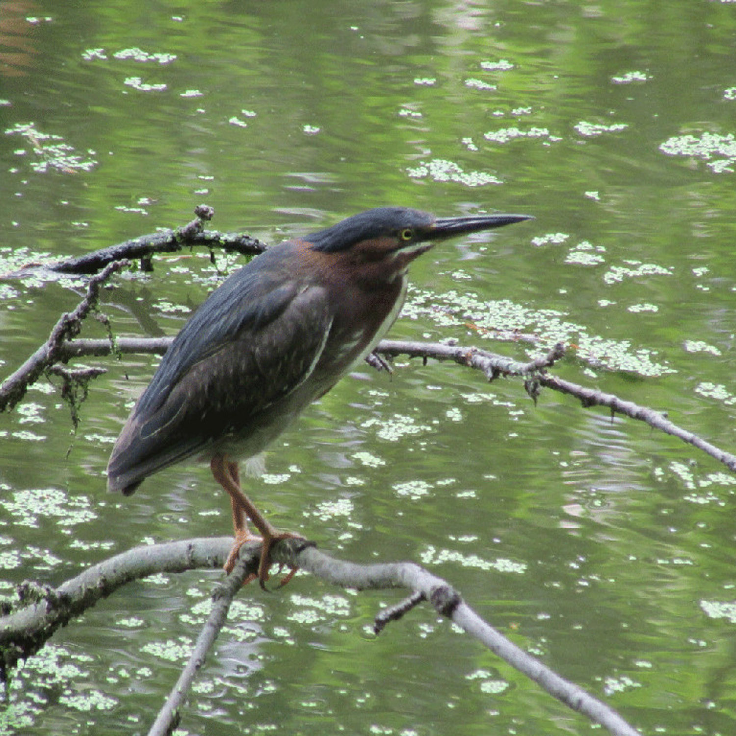 GreenHeron 1500 2.jpg