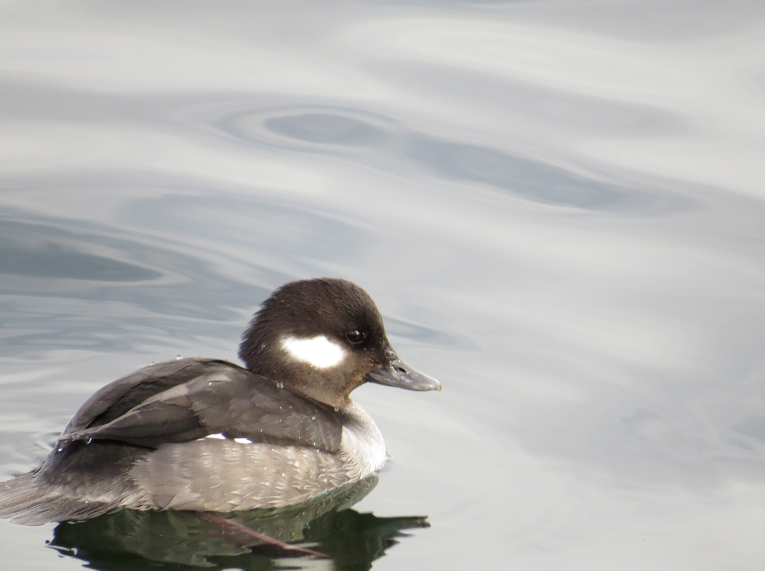 Female Bufflehead, March 2016