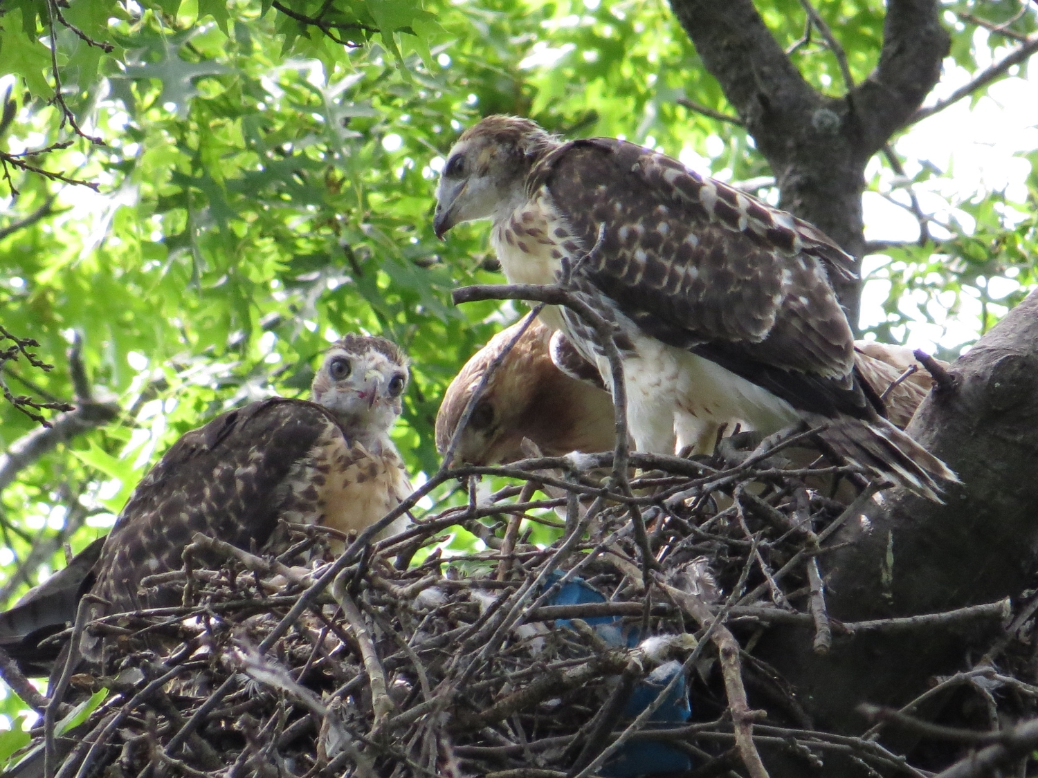 Red-Tailed Hawks: Riverside Park