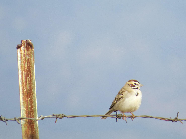 Lark Sparrow 1500 4-30-2016 198.jpg