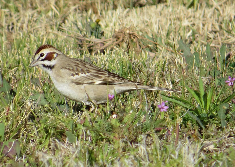 Lark Sparrow 1500 5-1-2016 898B.jpg