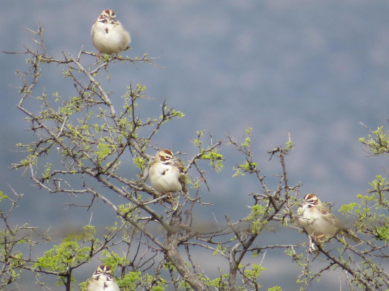 Lark Sparrow 1500 4-30-2016 264.jpg