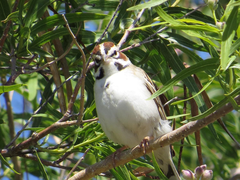 Lark Sparrow 1500 5-2-2016 793.jpg