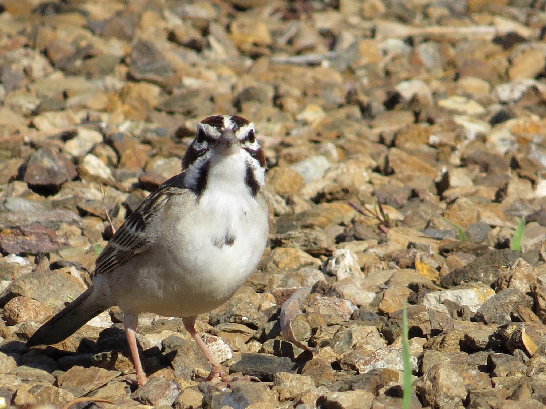 Lark Sparrow 1500 5-3-2016 937.jpg