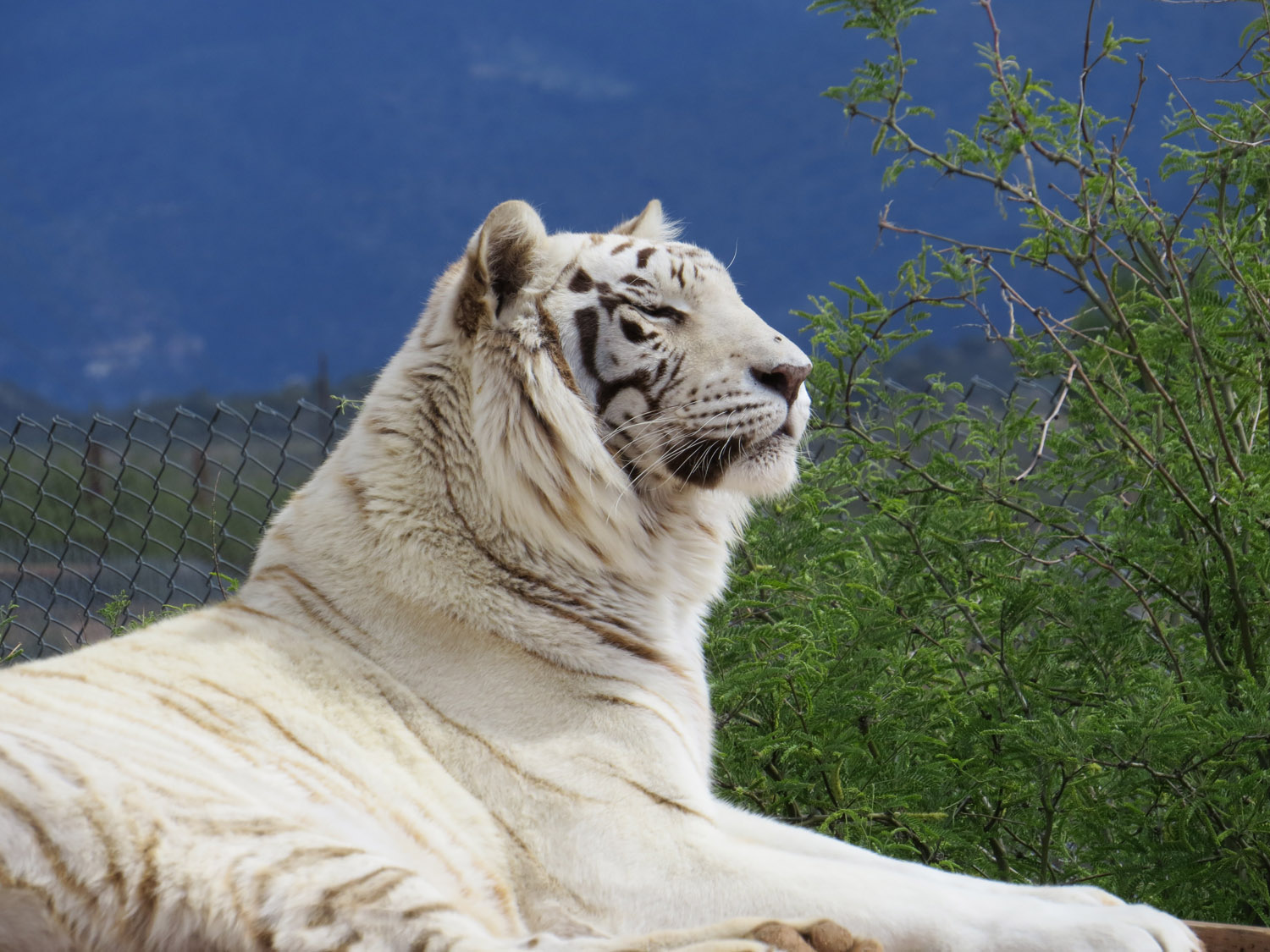 White tiger, Out of Africa Wildlife Park, Camp Verde, Arizona, April 30, 2016