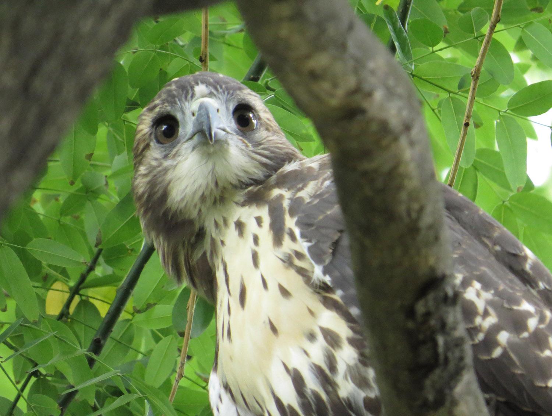 Tompkins Square Park fledgling, June 23, 2016