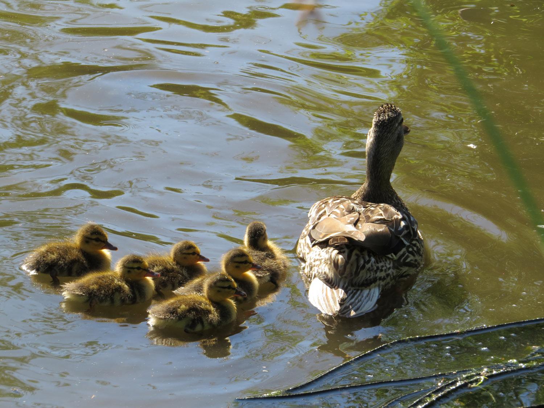 Ducklings 1500 7-5-2016 284.jpg