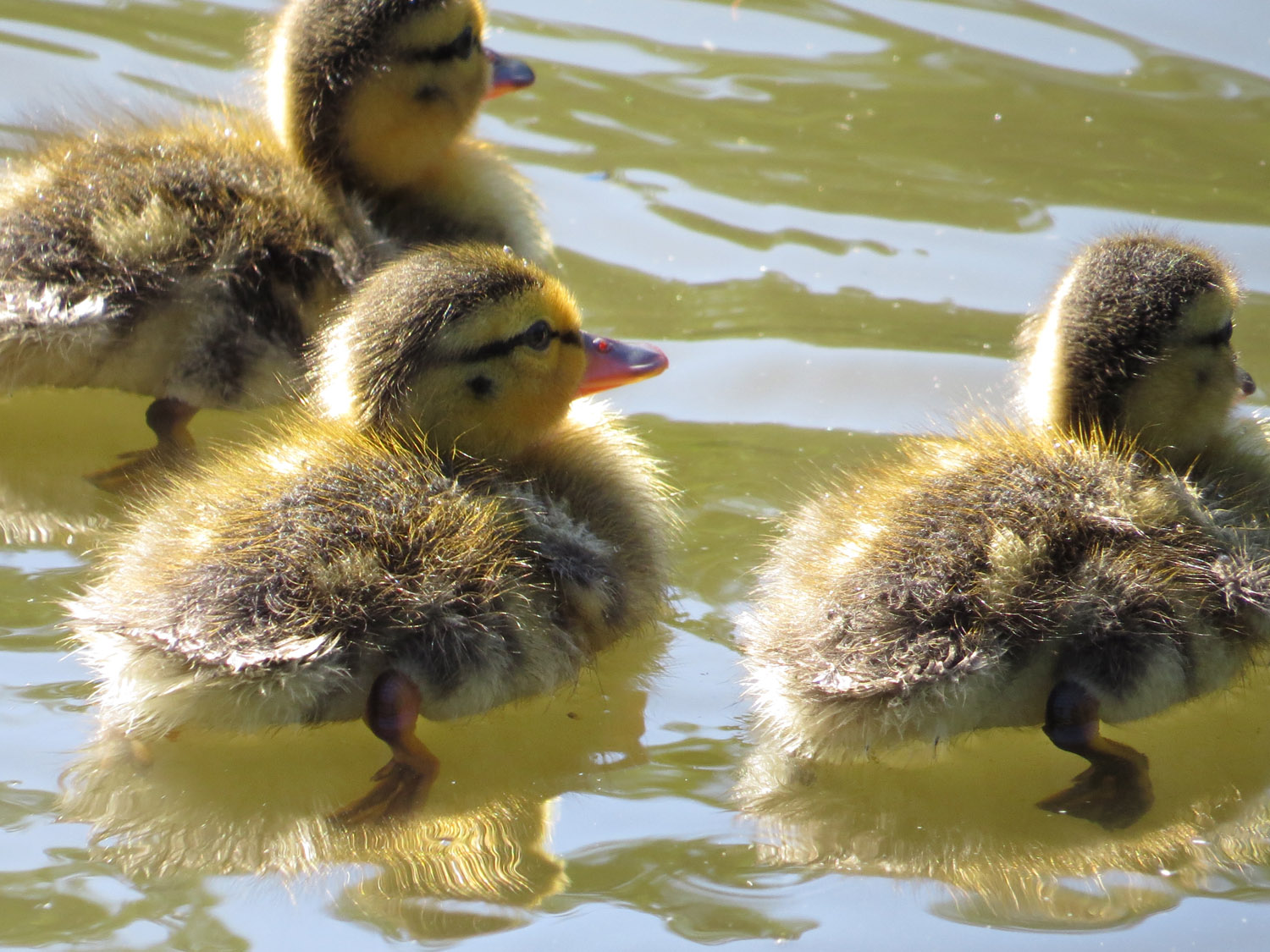 Mallard ducklings at the Pond, Central Park, July 5, 2016.