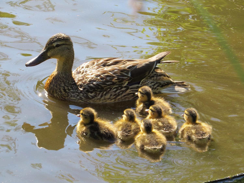 Ducklings 1500 7-5-2016 285.jpg