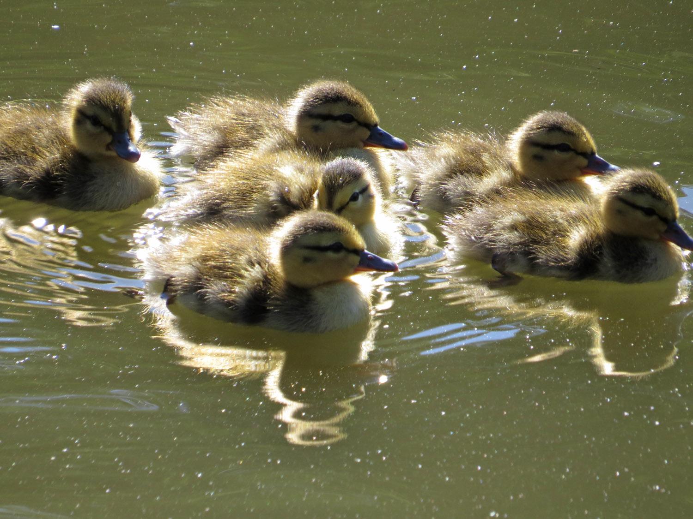Ducklings 1500 7-5-2016 311.jpg
