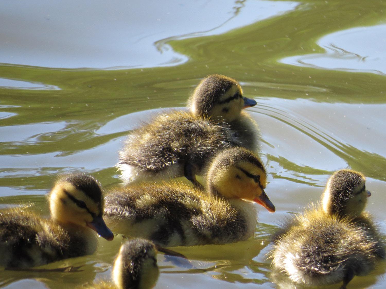 Ducklings 1500 7-5-2016 318.jpg