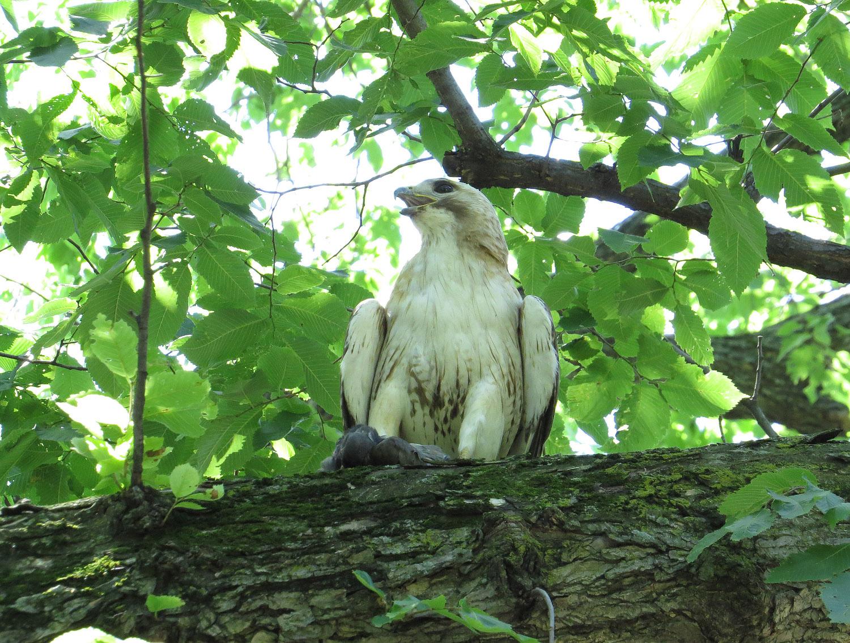 Pale Male 1500 6-30-2016 058.jpg