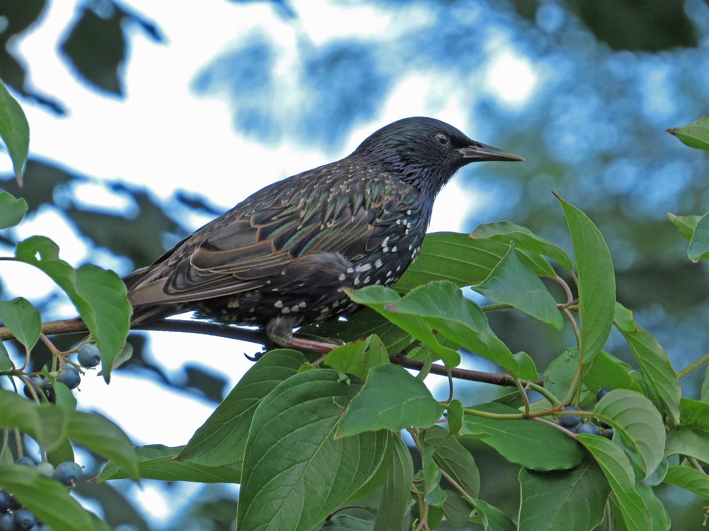 Starling 1500 8-2-2016 215P.jpg