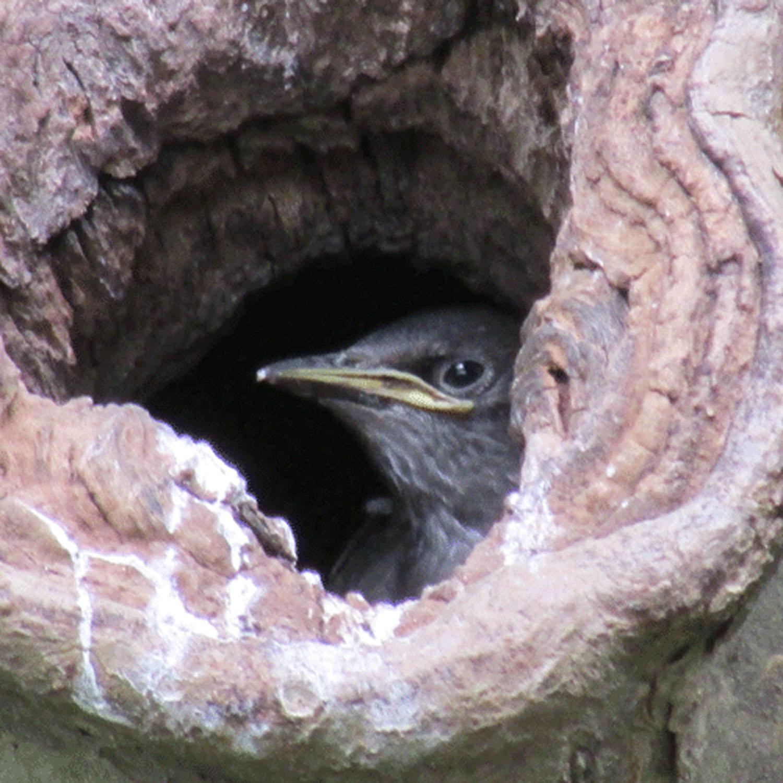 Starling in tree 1500.jpg