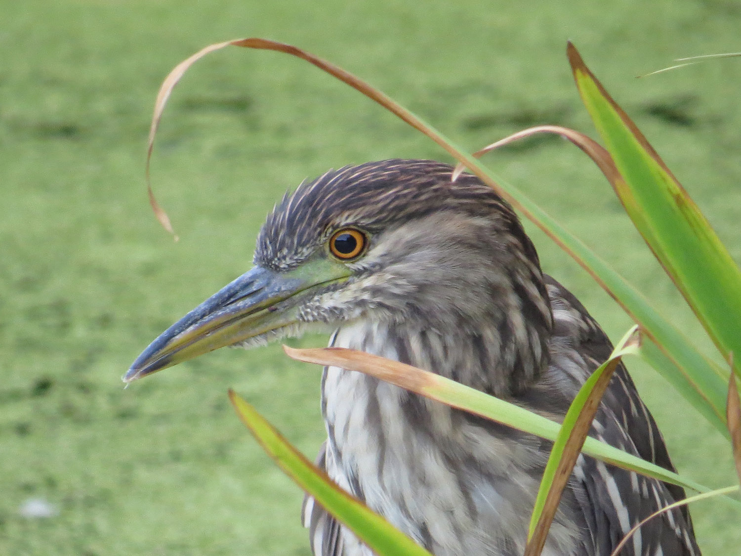 Young black-crowned night heron, Turtle Pond, August 2, 2016