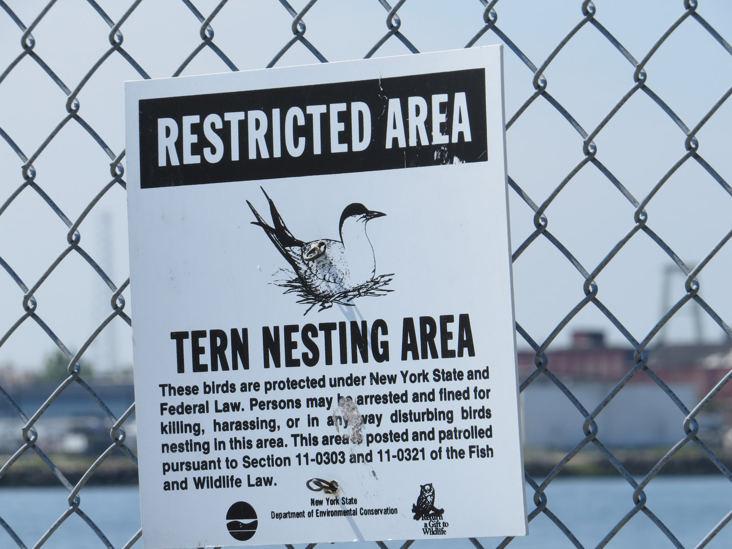 """New York State lists the common tern as """"threatened,"""" so the pier on Governor's Island is fenced off so the birds can nest safely."""